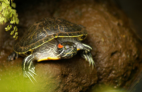vörös foltok a vörös fülű teknős bőrén arclemos pikkelysömör
