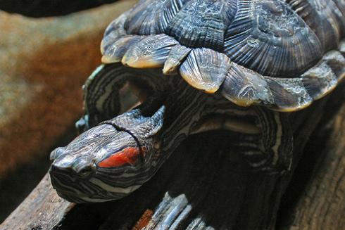 vörös foltok a vörös fülű teknős bőrén vörös foltok a homlokon és viszketés mi ez